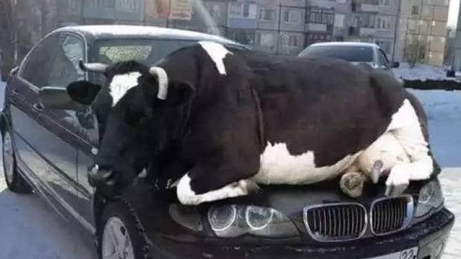 корова лежит на машине