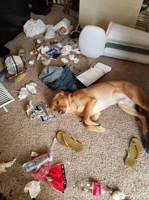собака и беспорядок