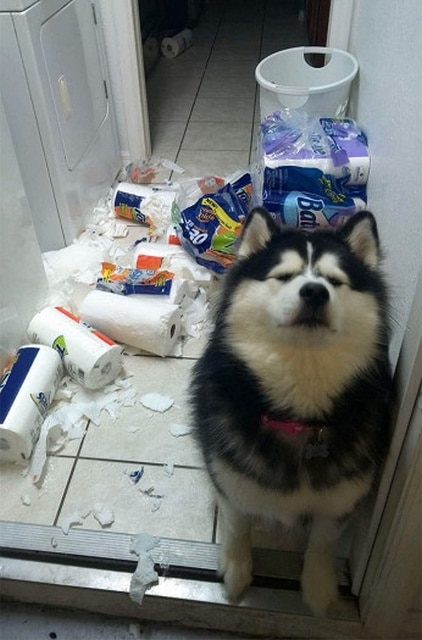 собака и разбросанная туалетная бумага