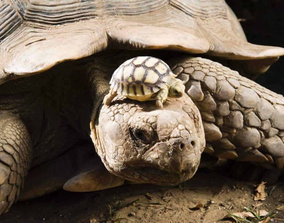 черепаха с черепашкой на голове