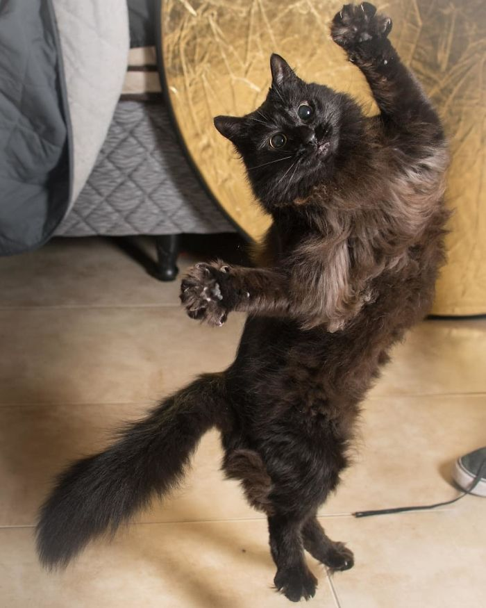черная кошка стоит на задних лапах