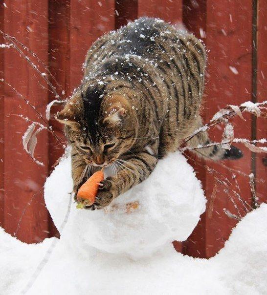 полосатый кот ворует морковку со снеговика