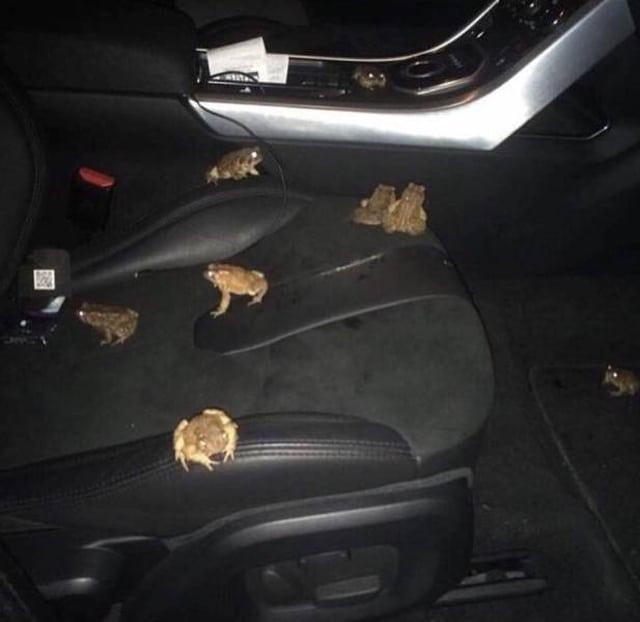 лягушки в автомобиле