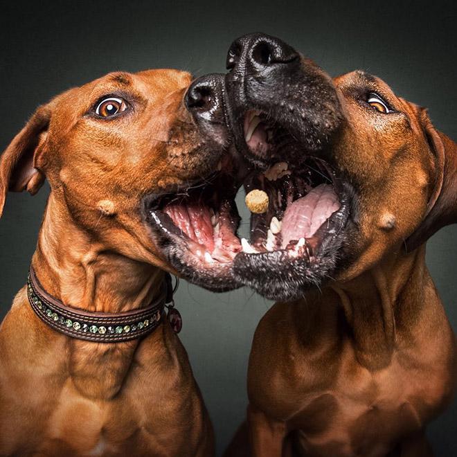 собаки ловят еду