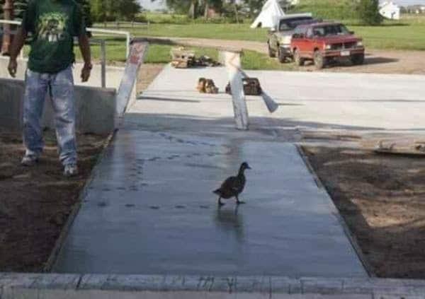 утка ходит по свежему асфальту
