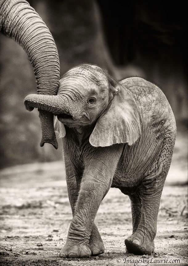 слоненок держится за хобот мамы