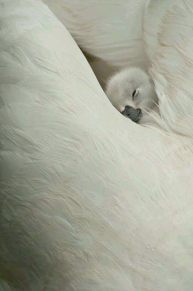 лебеденок спит