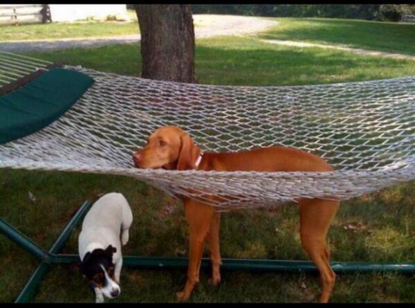 пес застрял в гамаке
