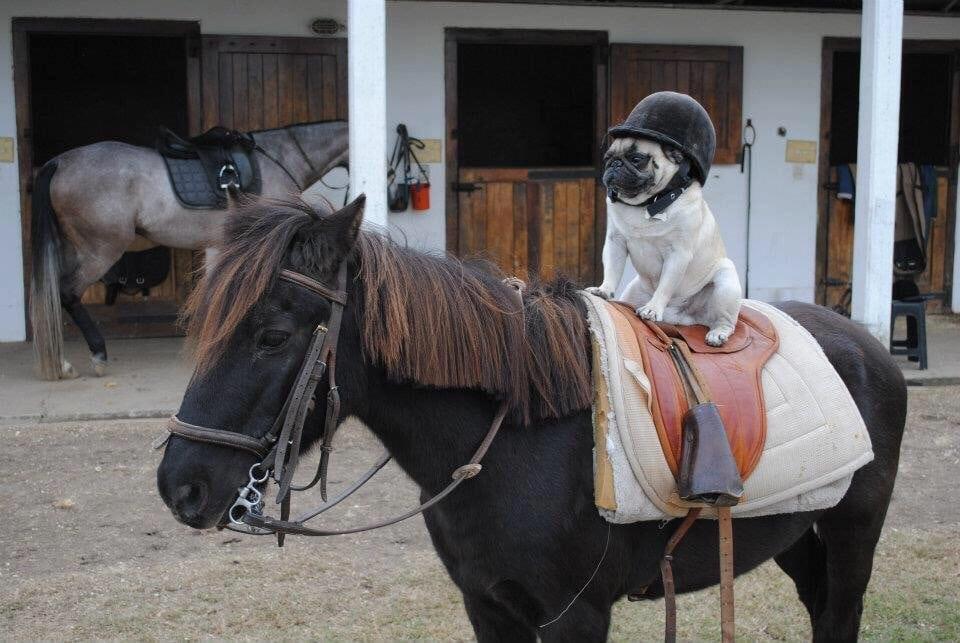 мопс на лошади