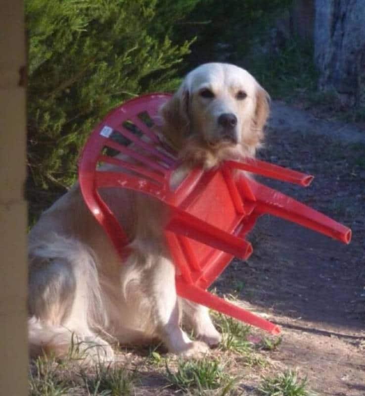пес застрял в стуле