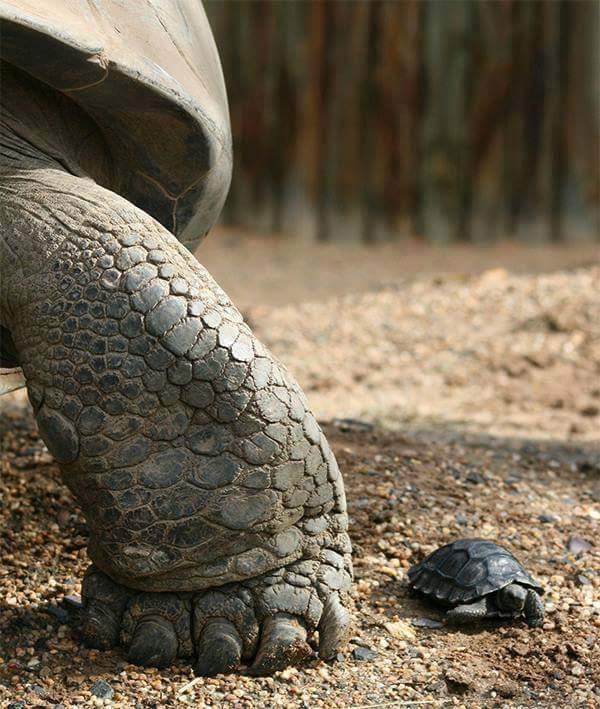 черепашка рядом с большой черепахой