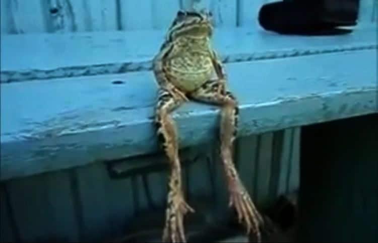 странная лягушка