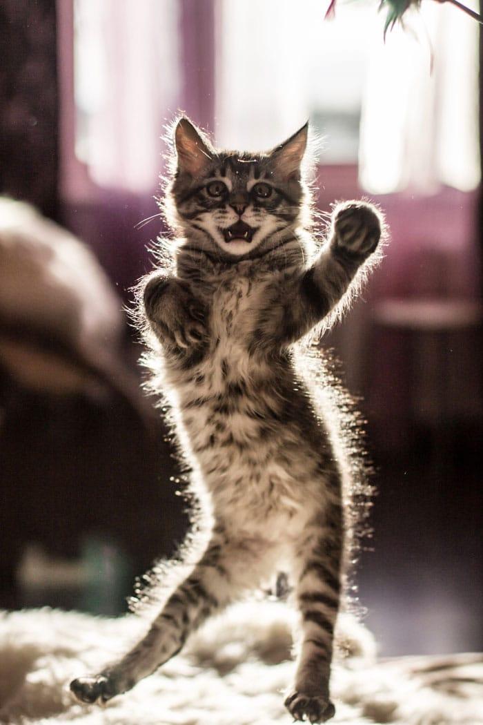 котенок стоит на задних лапах
