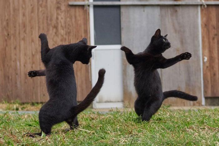 черные коты на задних лапах