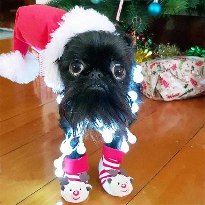 собака в костюме санты