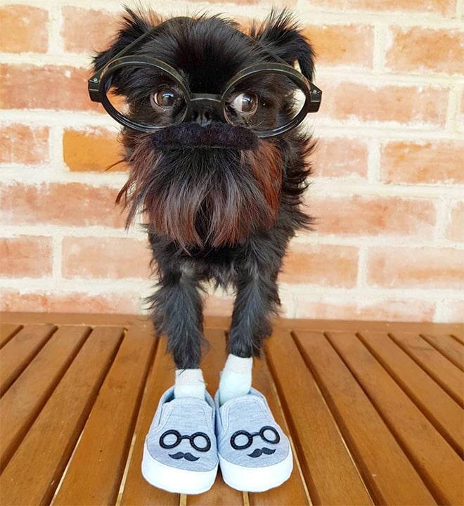 собака в очках и тапочках