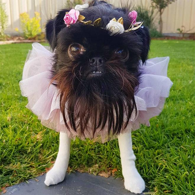собака в костюме балерины
