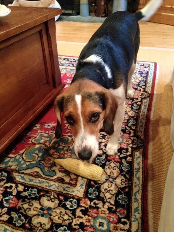 собака и кукуруза