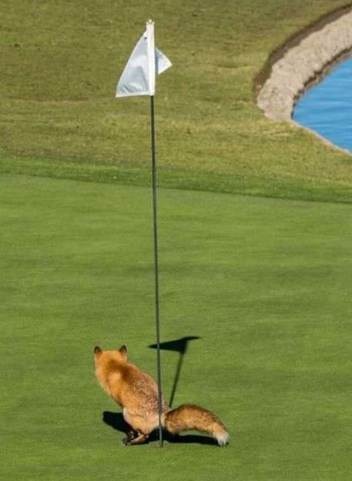лиса на поле для гольфа