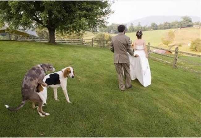 собаки на фоне жениха и невесты