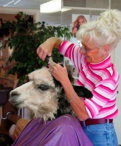 животное в парикмахерской