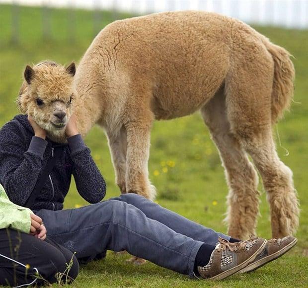 альпака и человек
