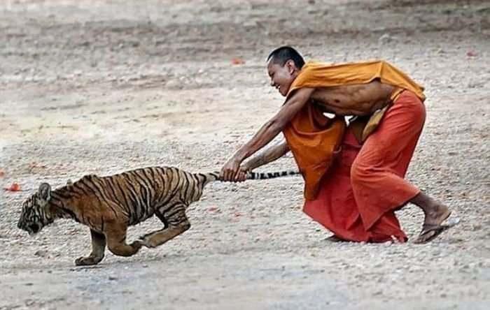 непалец тянет тигра за хвост