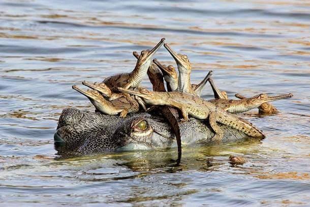 крокодильчики на голове у крокодила