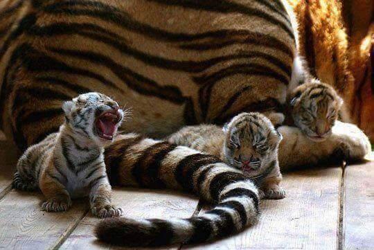 тигрята рядом с тигрицей