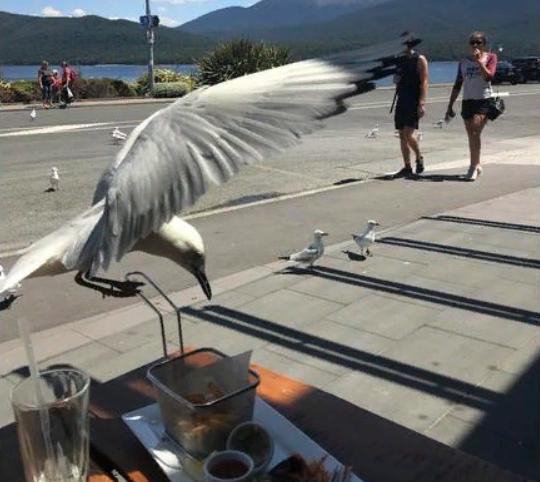 чайка крадет еду