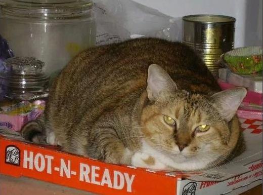 кот лежит на пицце