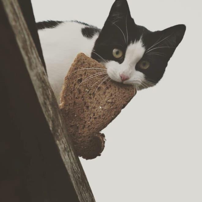 черно-белый кот с хлебом во рту