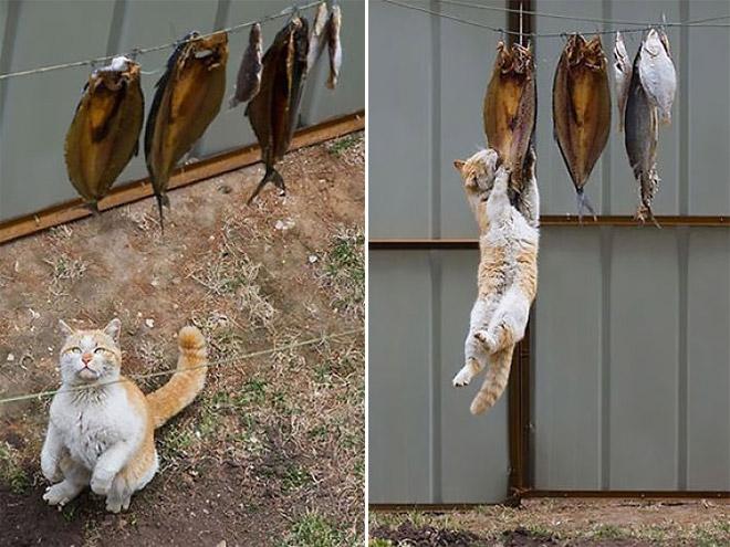 рыже-белый кот висит на рыбе