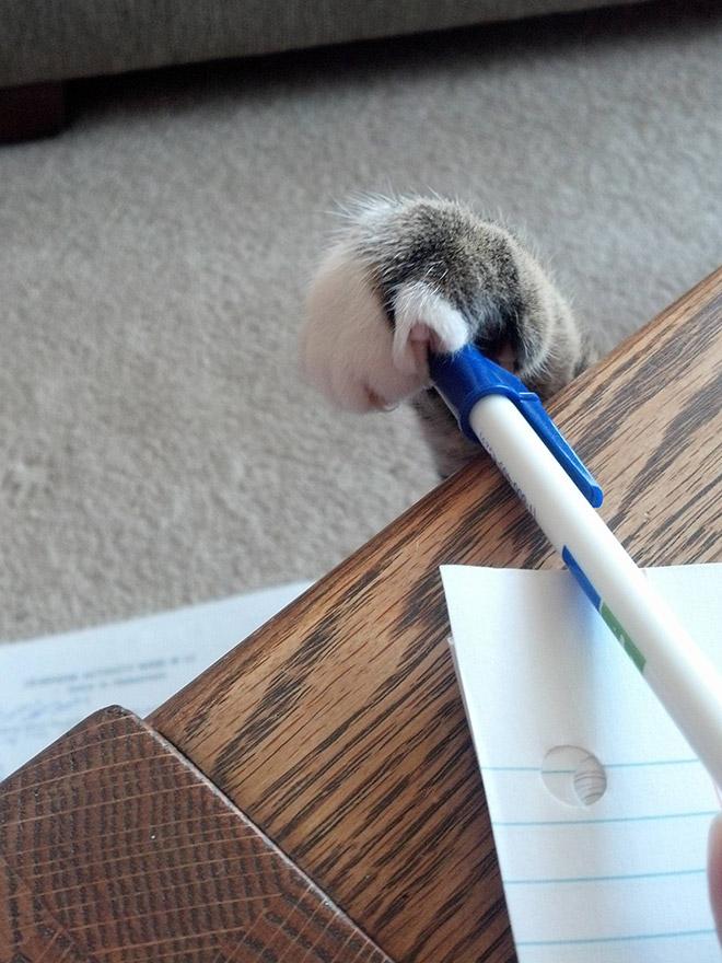 кот ворует ручку