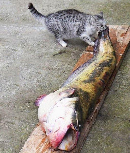 серый кот грызет большую рыбу