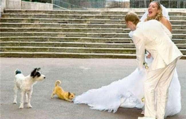 щенок вцепился в платье невесты