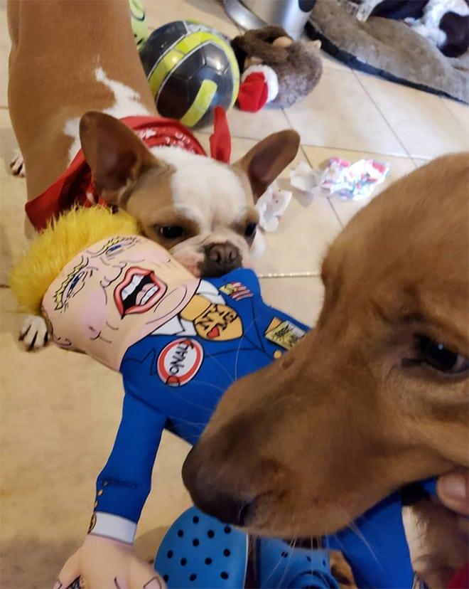 собаки делят куклу