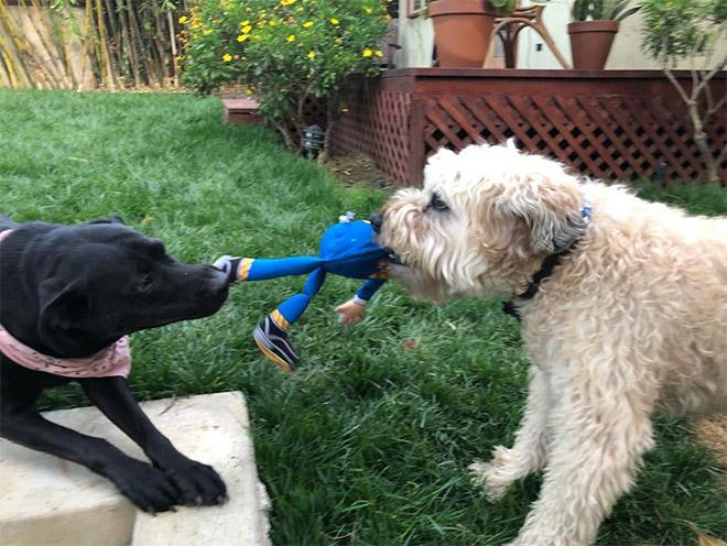 собаки делят игрушку