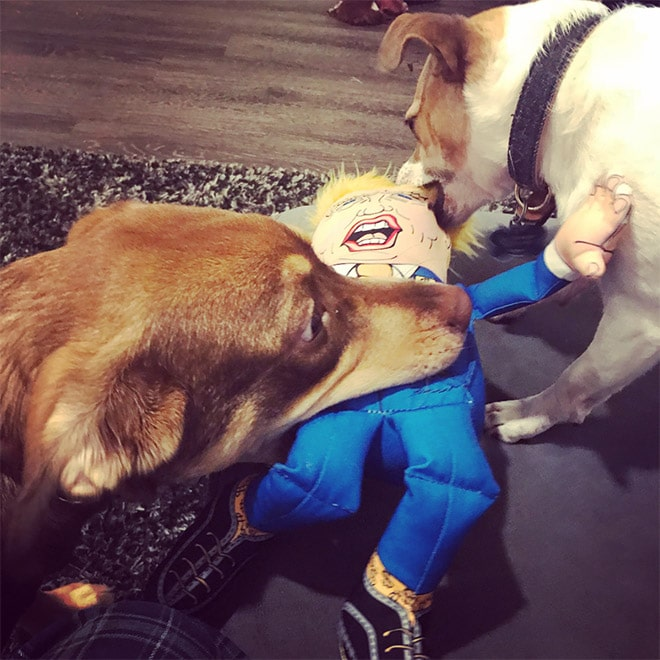 собаки грызут куклу трампа