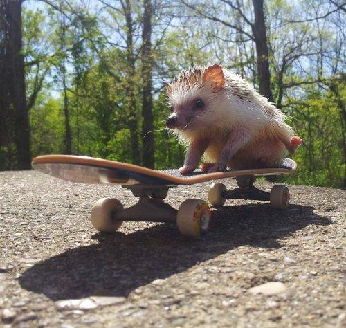 еж на скейте