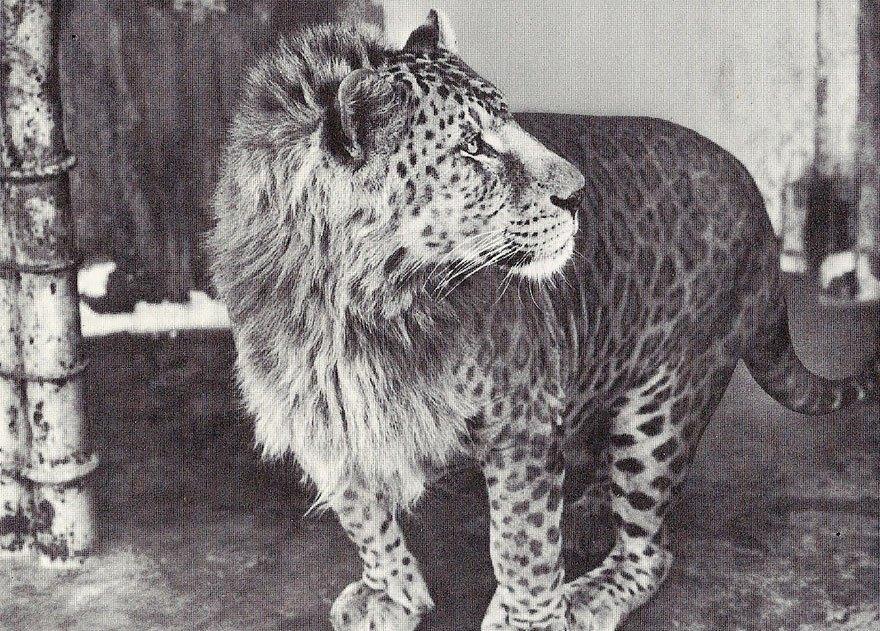 пятнистый лев