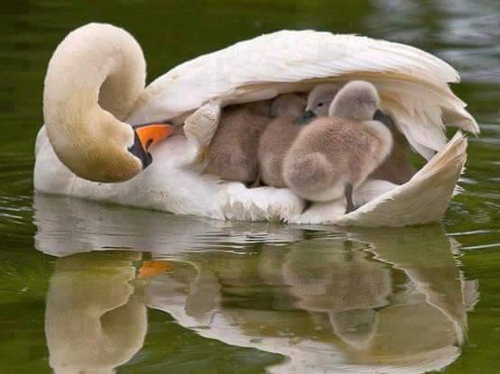 лебедь с птенцами под крылом