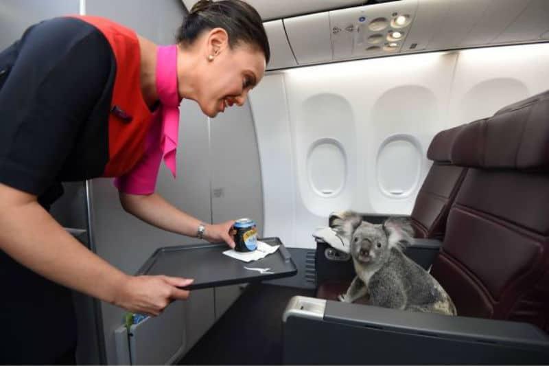 коала в самолете