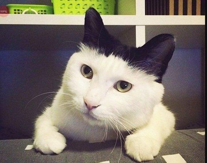 белый кот с черными ушами