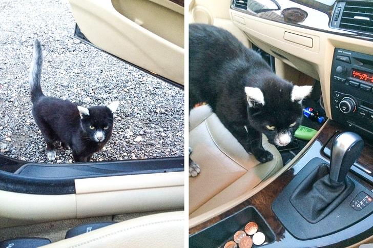 черный кот с белыми ушами