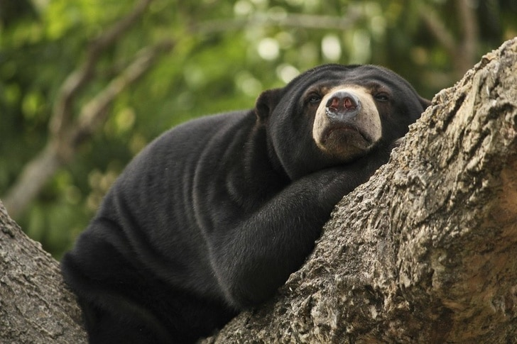 медведь спит на дереве