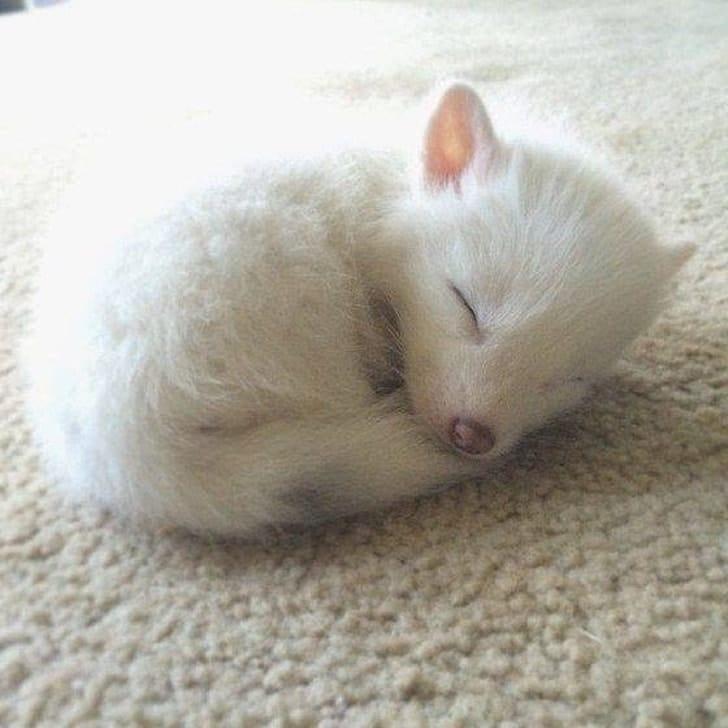 белый лисенок спит