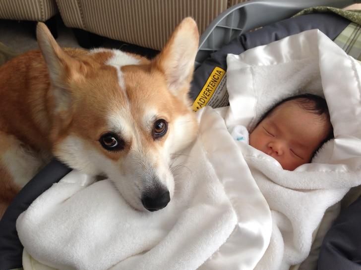 корги рядом с новорожденным
