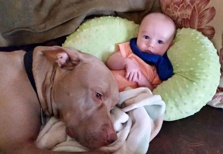питбуль лежит рядом с ребенком