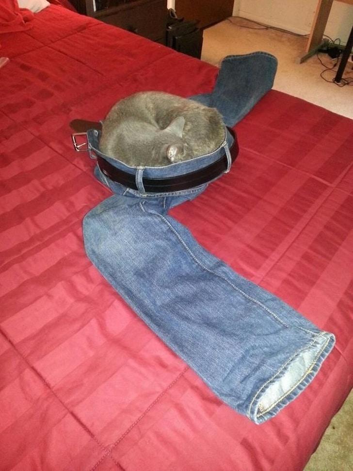 серый кот спит на джинсах